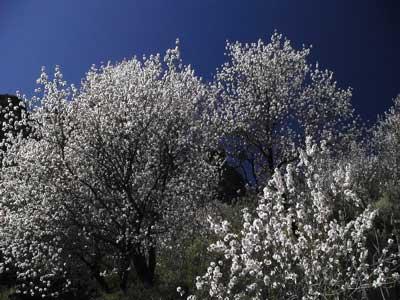 Wandern unter Mandelbäumen auf Teneriffa