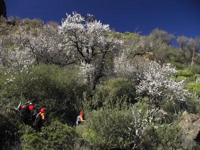 Wandern durch blühende Mandelbäume auf den Kanaren