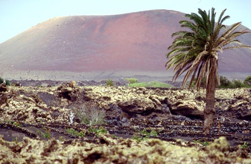 Vulkanlandschaft und Palme auf Lanzarote
